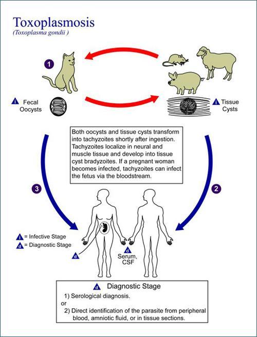 Toxoplasma gondii - cykl życiowy